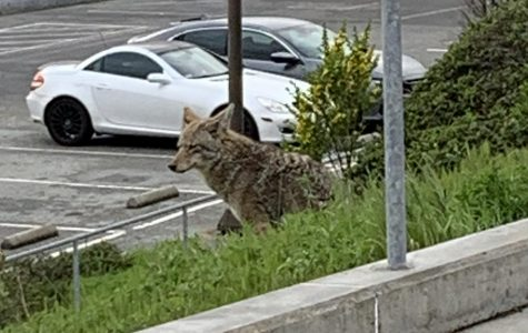 Coyotes creep into Crusader Country