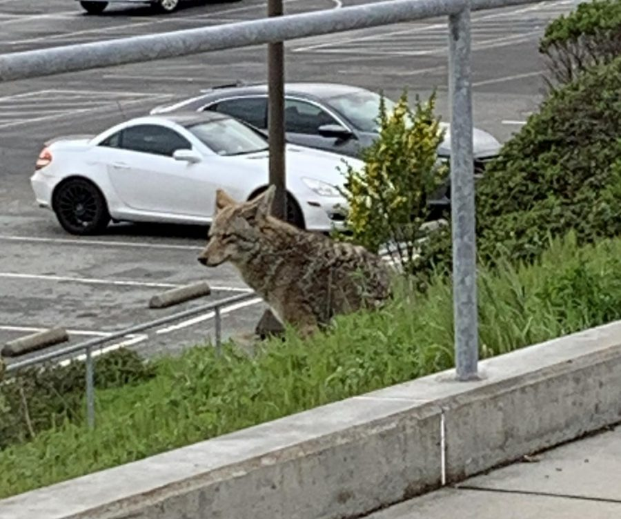 Coyotes+are+more+visible+in+urban+areas+lately%2C+like+this+one+spotted+near+the+Balboa+Reservoir+next+to+school+this+month.%0A