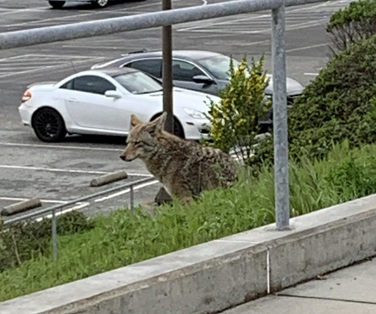 Coyotes are more visible in urban areas lately, like this one spotted near the Balboa Reservoir next to school this month.